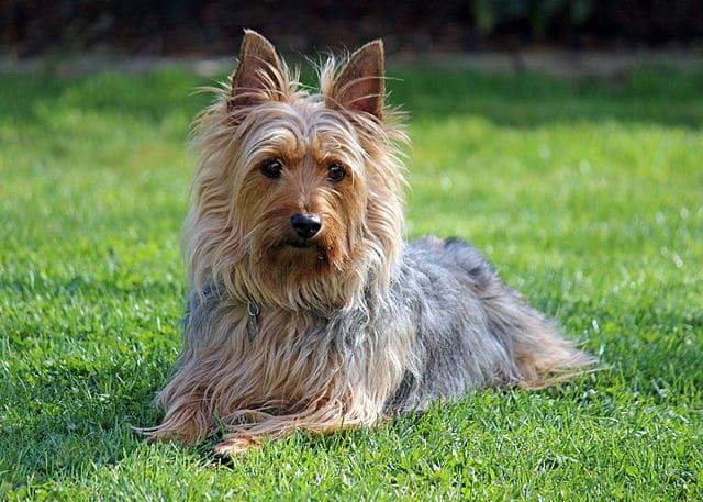 elevage silky terrier
