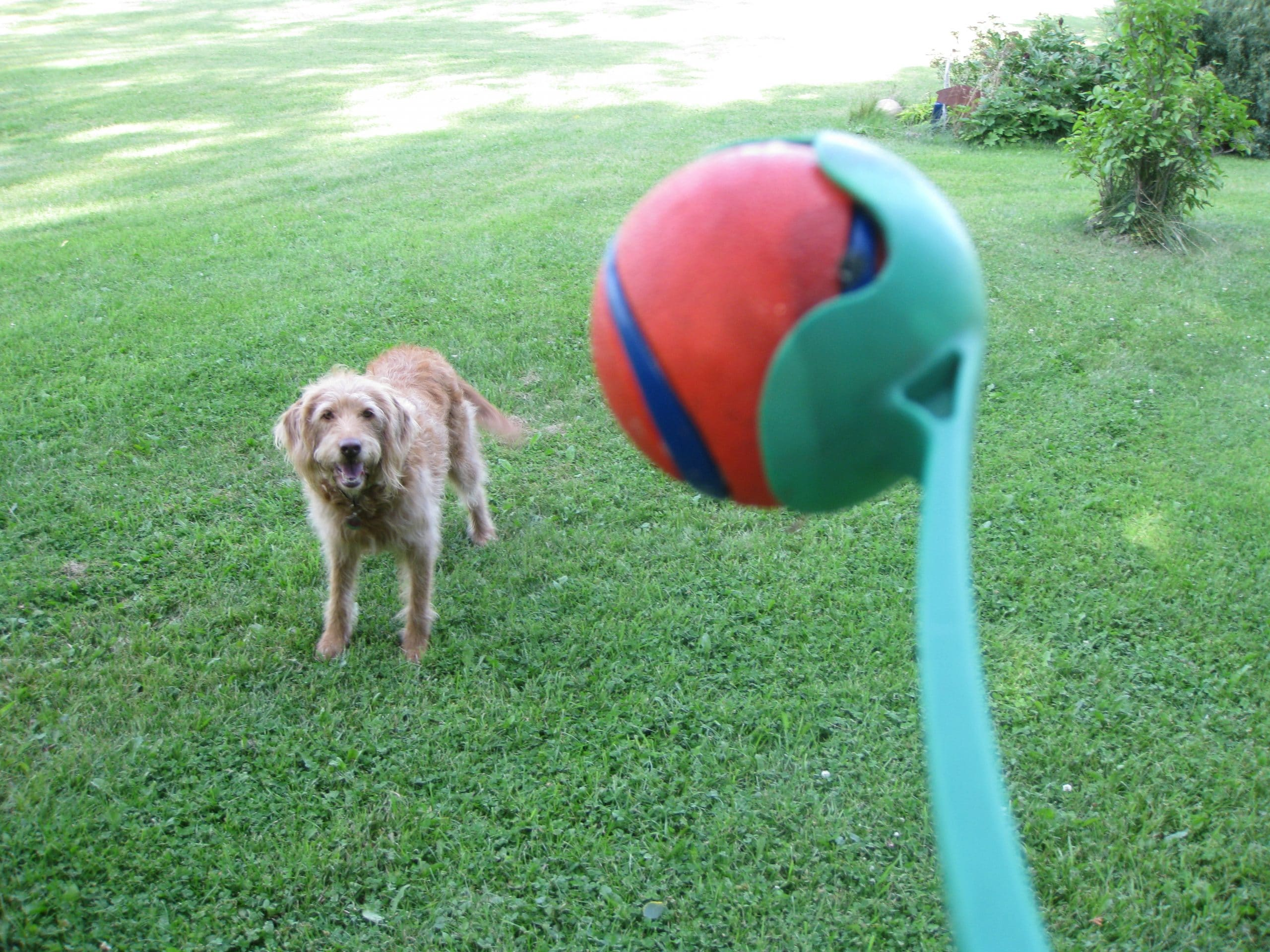 Meilleure balle chien
