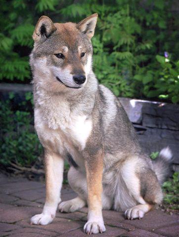 Shikoku chien eleveur