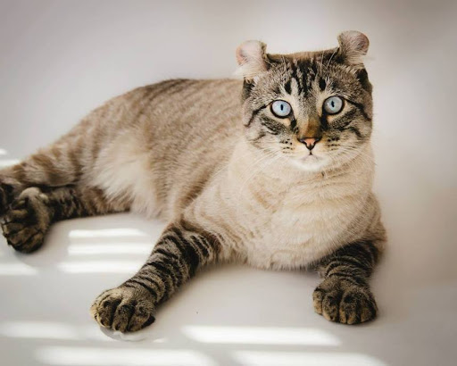 Chat Highland lynx eleveur