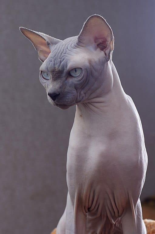 Chat sphynx eleveur pur race