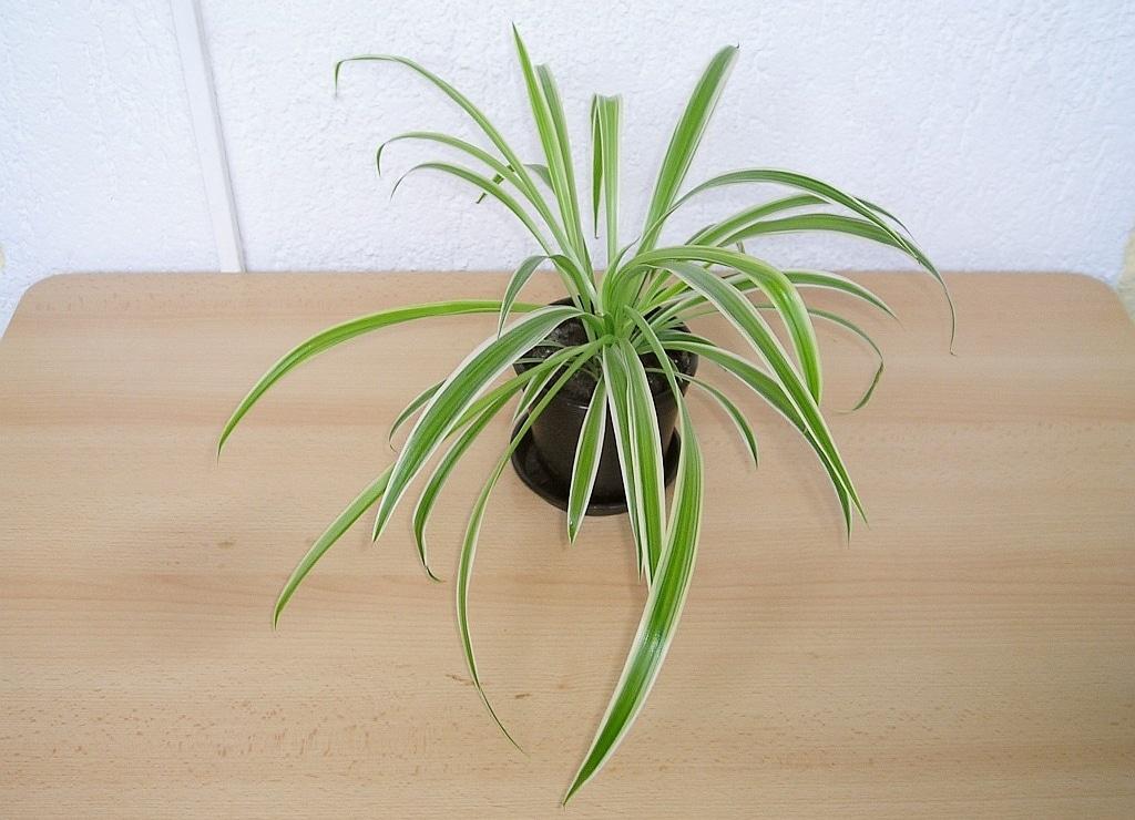 Plante araignée chat